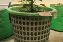 Basket-plants