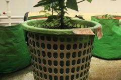 Basket-plant-02
